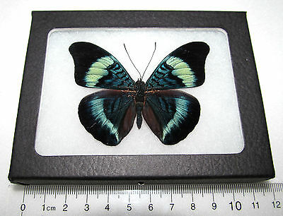 Real Blue Peruvian Panacea Prola Framed Butterfly Insect