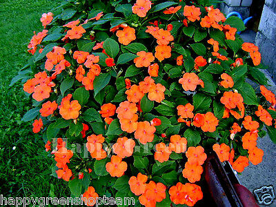 BUSY LIZZIE ORANGE Touch me not - Impatiens walleriana - 150 seeds FLOWER