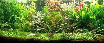 lot 150 plantes aquarium vert rouge 16 bouquets +4 cladophotas en+