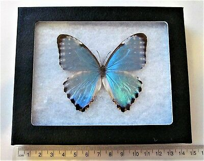 Real Framed Butterfly Blue Morpho Portis