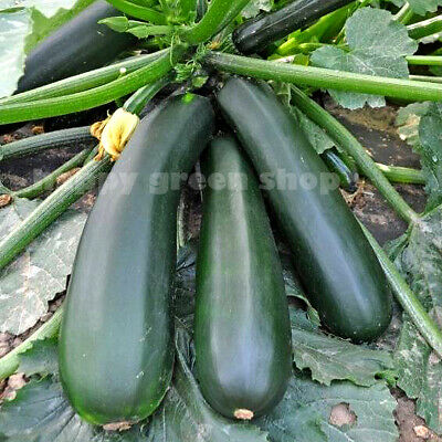 Vegetable - Squash Courgette - Black Beauty - 50 Seeds  - Zucchini