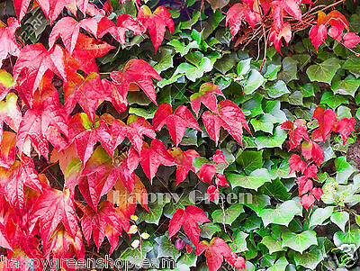 JAPANESE CREEPER IVY red and green - Parthenocissus tricuspidata - 45 seeds