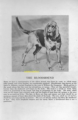 1931 The BLOODHOUND DOG With  Breed desc. Vintage PHOTO Art Print
