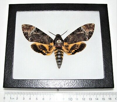 Real Framed Acherontia Lachesis Silence Of The Lambs Death's Head Moth