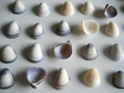 40 Tiny Purple & White Venus Clam Sea Shells Art Card Scrapbook Wedding Craft #3