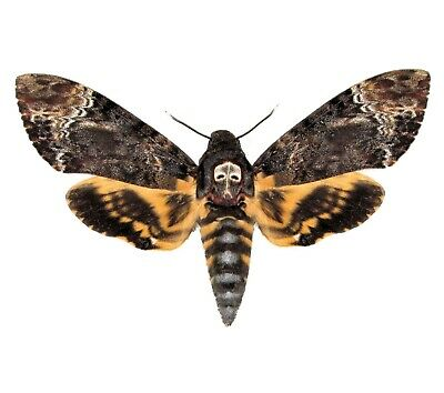 One Real Acherontia Lachesis Death's Head Moth Unmounted Wings Closed