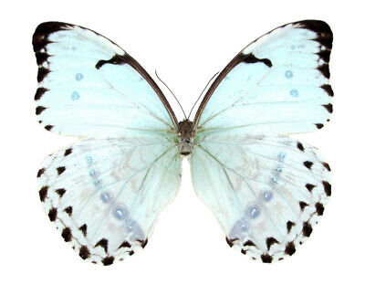 One Real Butterfly Ice Blue Morpho Catenaria Catenarius Unmounted Wings Closed