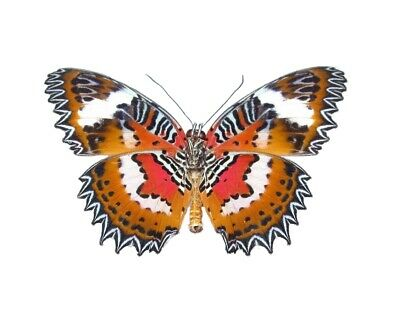 One Real Butterfly Indonesian Cethosia Hypsea Unmounted Wings Closed