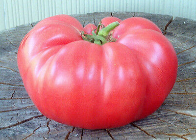 Pink Brandyvine Tomato Seeds * Large * Solid * Great Slicer * 15 Per Pkt .