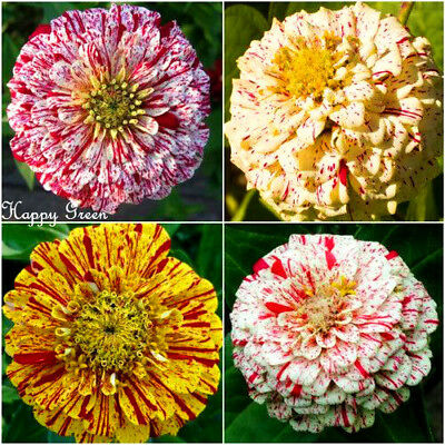 ZINNIA DAHLIA - PEPPERMINT STICK - 340 SEEDS - Zinnia elegans - Pumila flowered