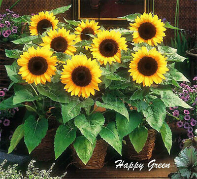 SUNSPOT - DWARF SUNFLOWER - 25 seeds Helianthus Annuus Yellow ornamental flower