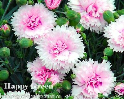 SONATA DOUBLE MIX - 260 SEEDS - Dianthus plumarius - PERENNIAL FLOWER