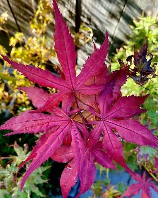 White Corn Seeds - Juicy - Wild - Very Sweet - Organic - Aussie Stock