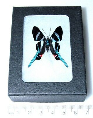 Real Blue Peruvian Rhetus Arcius Framed Butterfly Insect