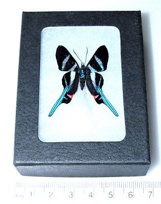 Real Framed Butterfly Blue Rhetus Arcius Peru