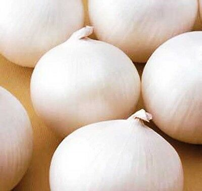 VEGETABLE - WHITE ONION - ALIBABA - 1200  SEEDS - SPRING SOWING - Allium Cepa