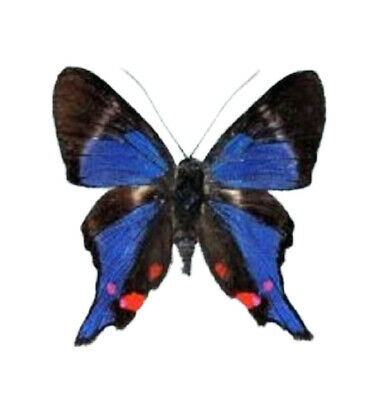 One Real White Blue Peruvian Rhetus Periander Butterfly Unmounted Wings Closed