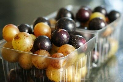 Muscadine/scuppernong Mix * 12 Seeds* Medicinal*wine*juice*syrup*sauces*jelly*