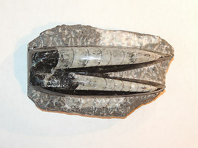 Orthoceras Fossil a Nautiloid Cephalopod on Matrix over 4 inches long (9380)