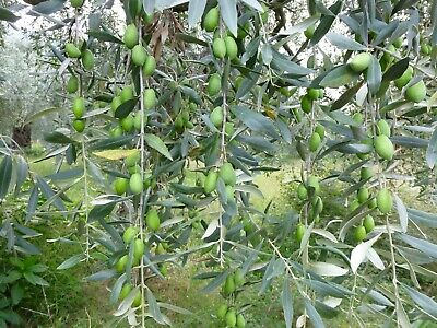 Eleagnus Angustifolia.Russian Olive 50 seeds.Available in 1,2,5 or 10 packets