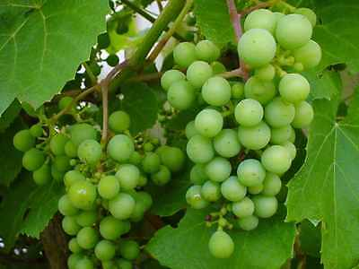Large Climbing Green Grape Seeds - Juicy - Sweet -  Rare - Fresh Seeds -