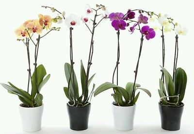 Moth Orchid hybrid seeds! 20+! Rare to find! Fresh!