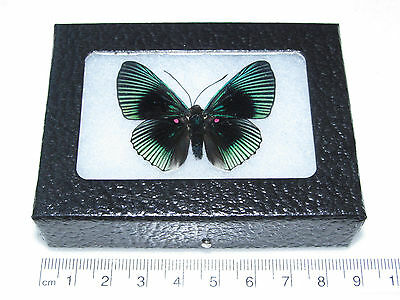 Real Peruvian Lyropteryx Appolonia Metalmark Framed Butterfly Insect