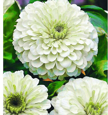 ZINNIA DAHLIA - POLAR BEAR - 250 SEEDS - Zinnia elegans - Large double flowers