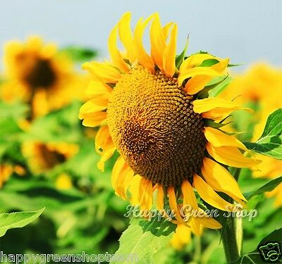 MEXICAN GIANT SUNFLOWER - EDIBLE - Yellow Helianthus Annuus 200 SEEDS Vegetablec