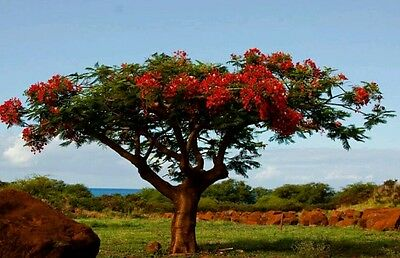 Red African Tulip Tree! Ideal houseplant or bonsai, tropical tree, fresh seeds!