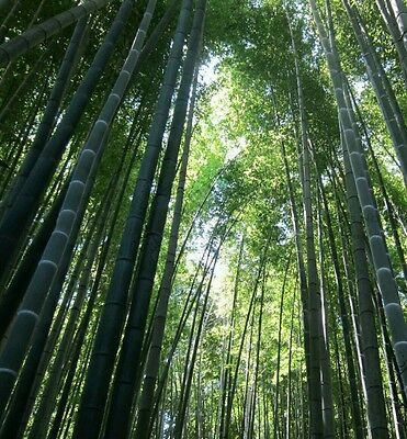Moso bamboo seeds! Giant!World's tallest bamboo, fastest growing plant 1ft a DAY