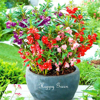 GARDEN BALSAM DWARF MIX - TOUCH ME NOT - 200 seeds - Impatiens Balsamina