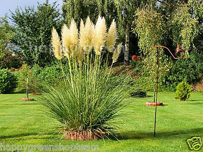 PAMPAS GRASS - WHITE FEATHER - Cortaderia selloana - 200 seeds PERENNIAL
