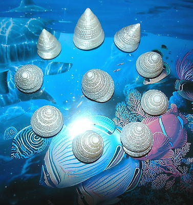 Ten (10) Pearl Tectus Stellatus Sea Shells 1-1/4 To 1-1/2  Beach Decor Craft