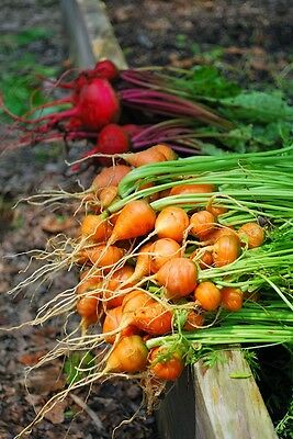 Parisian Carrot Seeds ***bulk 1000 Count Pkt **tender Round Globes*sweet & Tasty