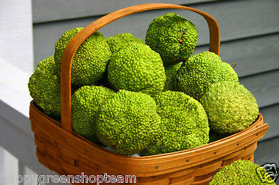 OSAGE ORANGE - 6 SEEDS -  Maclura pomifera