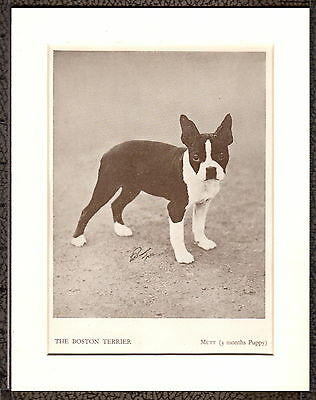Dog PHOTO Print Walter GUIVER ~ BOSTON TERRIER PUPPY 'Mutt' ~ c1935 Mounted