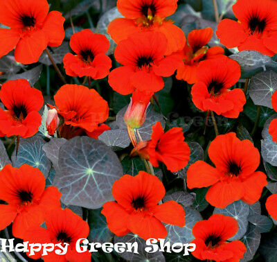 NASTURTIUM - TOM THUMB - Empress of India - 160 SEEDS - Tropaeolum nanum  FLOWER