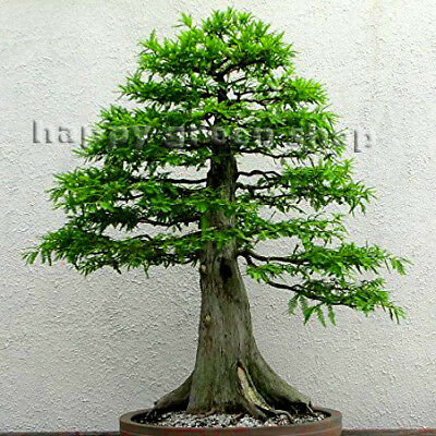 DAWN REDWOOD - 60 seeds - Metasequoia glyptostroboides BONSAI SEEDS