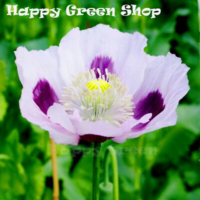 POPPY BLUE MOON - Papaver somniferu - 500 seeds - ANNUAL FLOWER