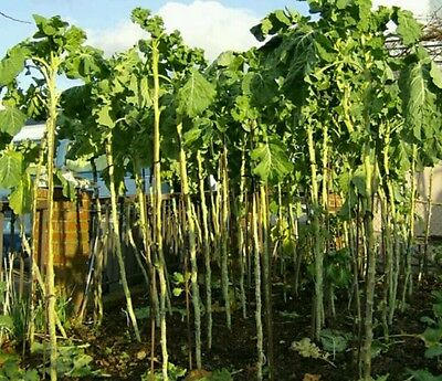 Portuguese Walking Stick Cabbage Kale Tree! Great for kids! Edible! Seeds rare