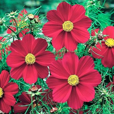COSMOS Versailles Red Seeds (F 01)