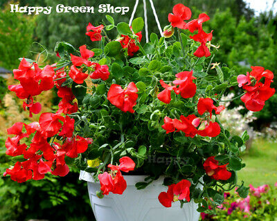 FREE P&P LARGE PACKET Tiger Monkey Flower - 25 000 seeds - MIX Mimulus tigrinus