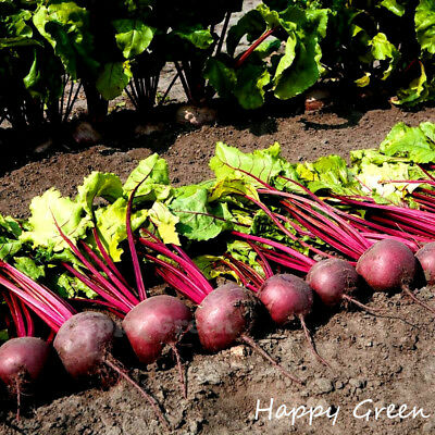VEGETABLE - Beetroot Kahira - 400 SEEDS - Egyptian Type Flat Rooted - Heritage