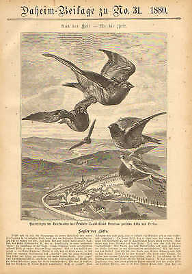 Homing Pigeons, Berlin, Germany, Vintage, 1880 German Antique Art Print.