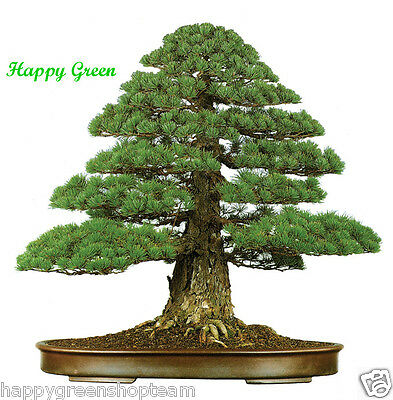 JAPANESE CEDAR - 50 SEEDS - Cryptomeria japonica - Bonsai Sugi tree