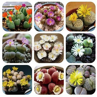 1 Pack 100 Lithops Seeds Rare Mixed Living Stones Succulent Cactus S016