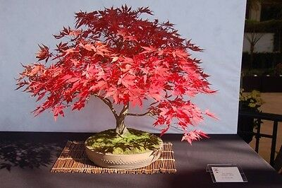 RED JAPANESE MAPLE 15 seeds + CHINESE WISTERIA 2 seeds - bonsai Acer Palmatum