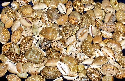 Twenty (20) Assorted  Cypraea  Cowrie Sea Shells Nautical Beach Decor Tropical