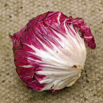 CHICORY Radicchio Palla Rossa Heirloom Seeds (V 394)